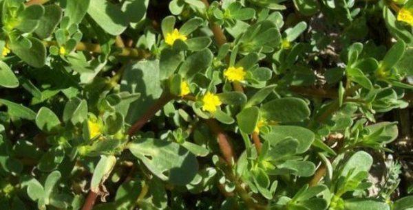 Cây rau sam có tác dụng thanh nhiệt ,giải độc hiệu quả