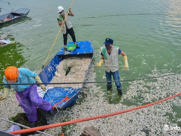 Toàn bộ số cá này sẽ được đem đi tiêu hủy ở nhà máy rác thải Nam Sơn.