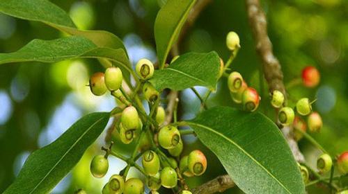 Tác dụng của lá vối đối với sức khỏe và đời sống