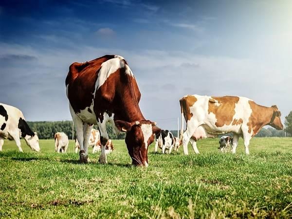 Nằm mơ thấy con bò là điềm gì? Đánh lô đề con nào?