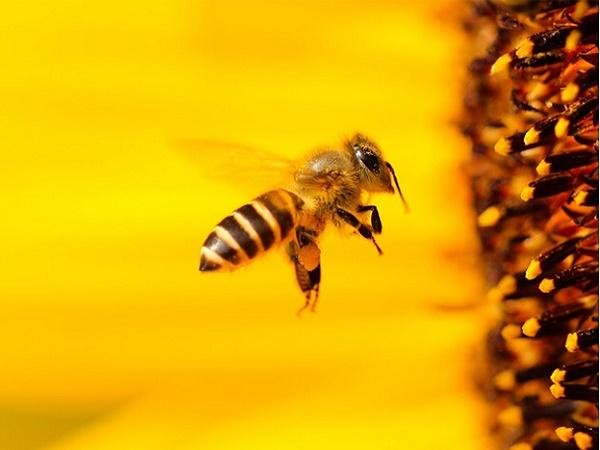 Mơ thấy ong là điềm báo điều gì?
