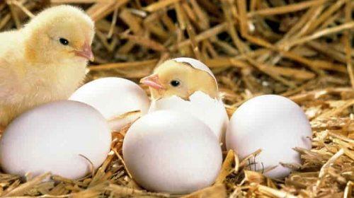 Mơ thấy trứng gà vỡ/nở điềm gì, đánh số gì?