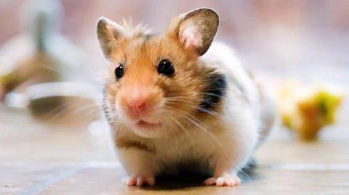 Chuột kêu ban đêm điềm báo gì, chuột chạy trên trần nhà thì sao?