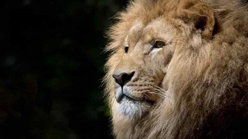 Giải mã giấc mơ - Mơ thấy sư tử đánh số gì?
